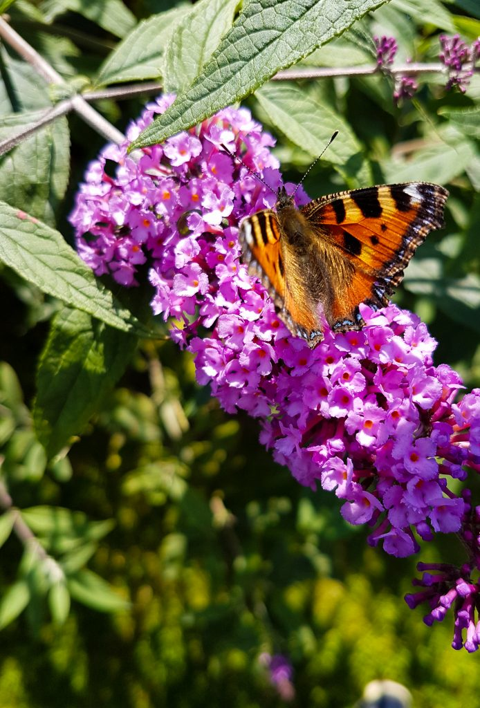 Butterfly on Buddleia I image