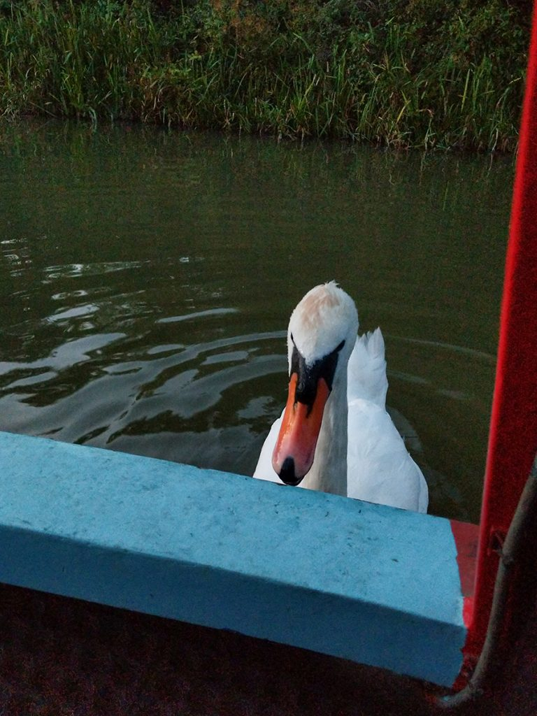 The Long Journey Home - Part 27 - swan image